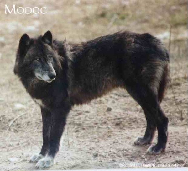 wolf country the pack body postures and social structure - 600×545