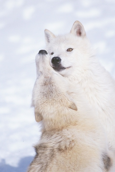 Wolf Country, reproduction, bonding and mating