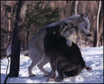 Wolf Country Reproduction Bonding And Mating