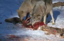 wolf prey