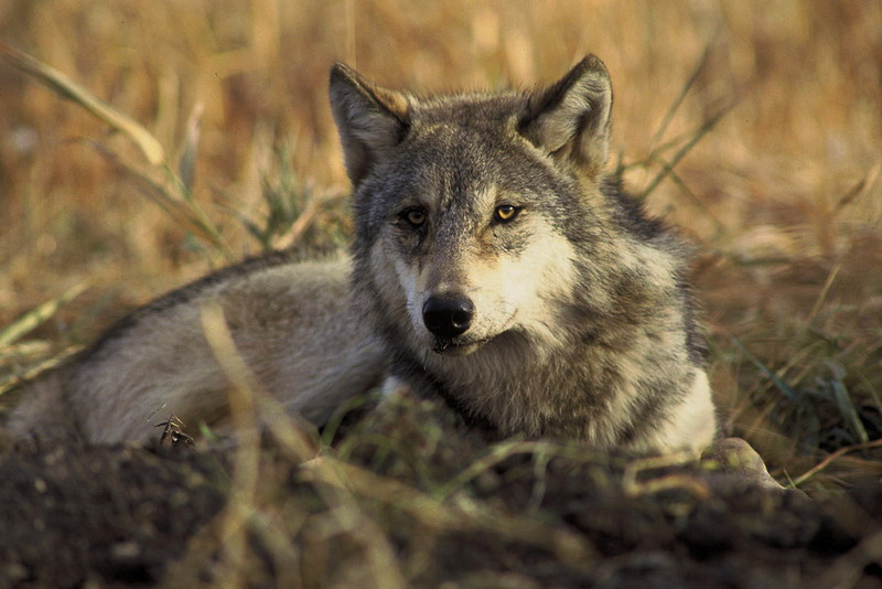 Wolf Country, facts, the senses observed