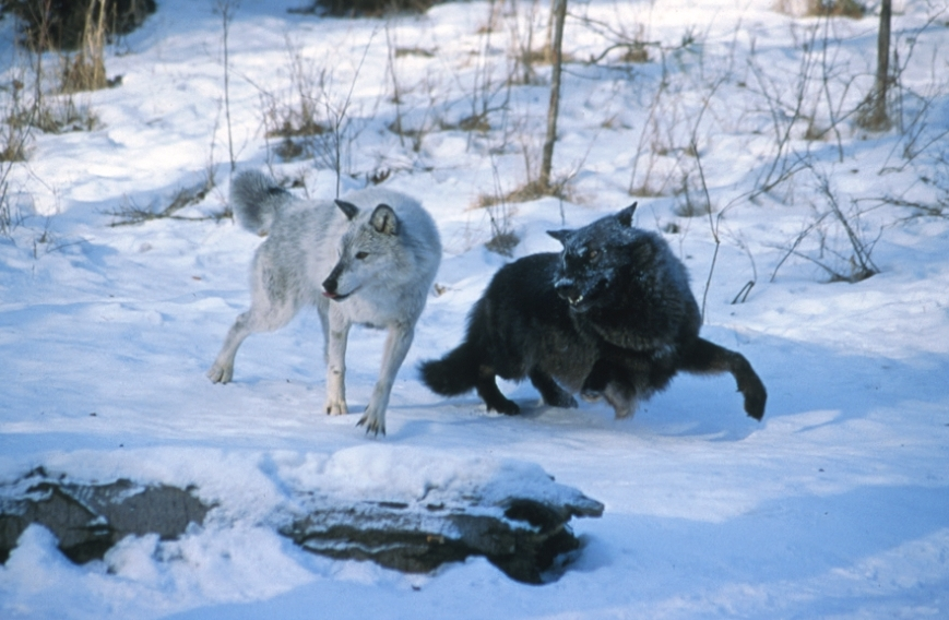 wolf country the pack body postures and social structure - 869×568
