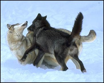 wolf country the pack body postures and social structure - 365×294